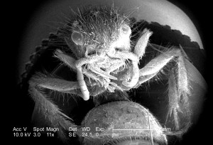 femelle, insecte, guêpe, abeilles, nid, paralysant, larves,