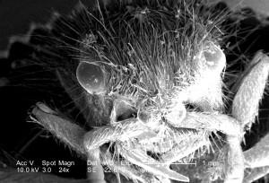 tête, région, femelle, velours, fourmi, dasymutilla