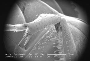 larvaires, la phase, des insectes, des épaves, des ravages, agricoles, les cultures, les adultes
