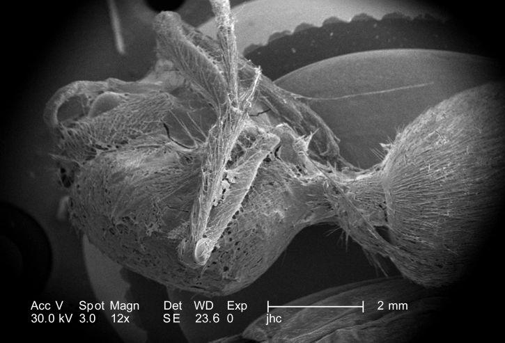 latrodectus, black, widow, mactans, brown, spiders, loxesceles