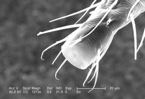 morphologique, caractéristiques, distal, non identifié, taille, noir, voler, insecte