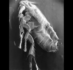 parasittiske, loppe, mikroskop-bilde, nær