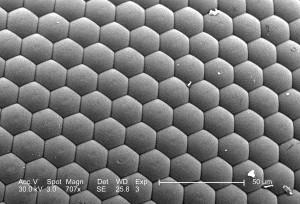 répéter, hexagonale, en forme, unités, ommatidia, par conséquent, la durée, le composé
