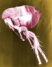 scanning, electron micrograph, flea