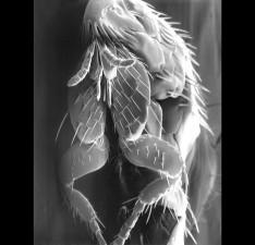 scanning, electron micrograph, parasitic, flea