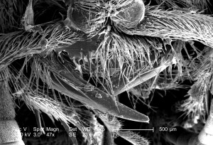 thoracique, région, femelle, velours, fourmi, dasymutilla