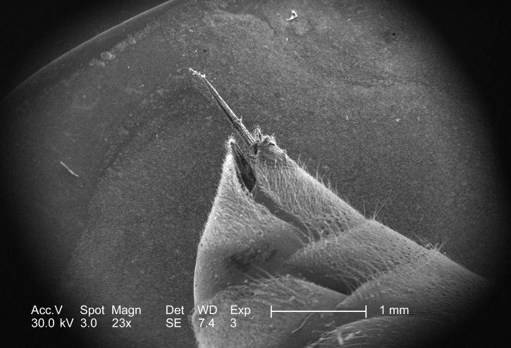 ultrastructural, morfologiske detaljer, stinger, apparater, uidentifisert, hymenopteran, insekt
