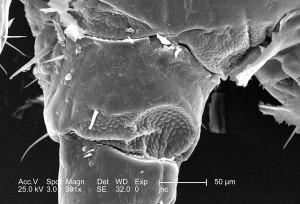 visible, microscope, coxa, trochanter, jambe, segment, insecte