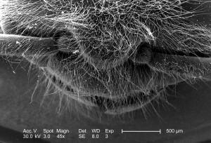 Zapadni, pčele, API-ja, mellifera, glave, prsnog koša