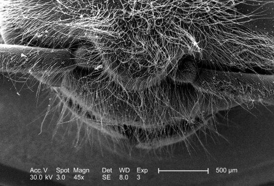 Western, honningbier, apis mellifera, hoved, thorax