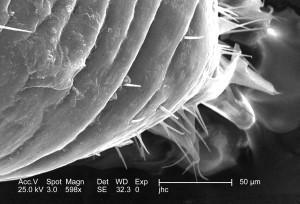 grossie, 598x, micrographie électronique, chitine, exosquelette, surface, mâle, louse