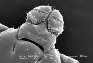 balayage, micrographie électronique, dorsale, non identifié, mâle, dermacentor