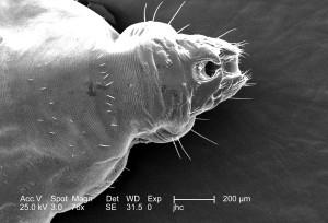 morphological characteristics, image, include, two, gonopodia