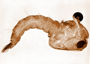 Anopheles, stephensi, komarac, pupa, stephensi, Ženski, vektor, bolesti, malarije