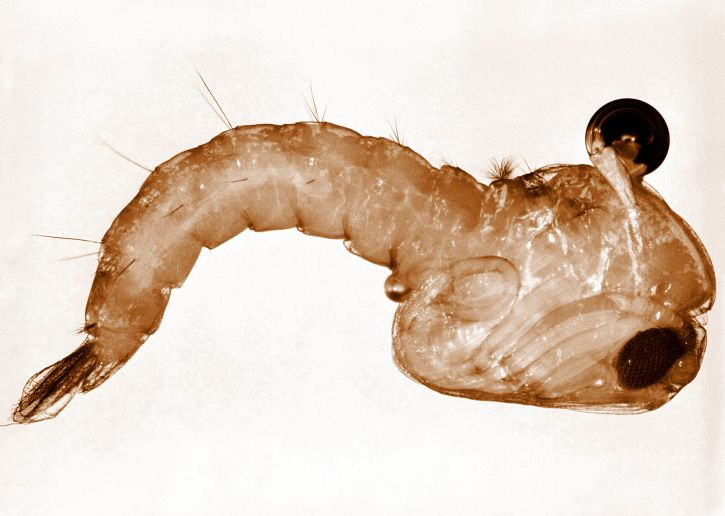 anopheles, stephensi, mosquito, pupa, stephensi, female, vector, disease, malaria