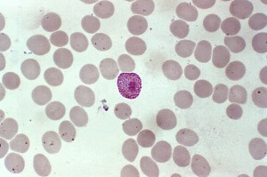 macro, microgametocytes, products, erythrocytic, cycle