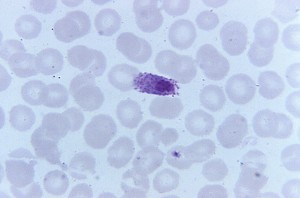microgametocyte, product, erythrocytic, cycle, shown, oval