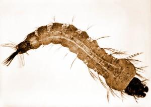 photograph, anopheles, stephensi, mosquito, larva