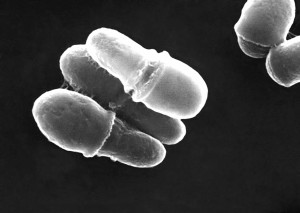 Malassezia, lipophilis, funghi