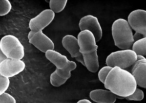 Malassezia, lipophilis, microfotografia