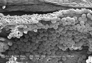 blomst, pollen, prosess, meiose, innebærer, cell, divisjon, stige