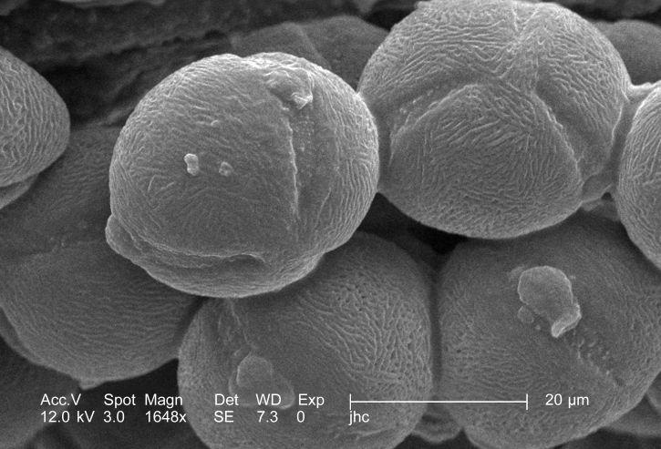 pollen, korn, dehisced, split, åben, gule, fyrværkeri, sundrops, oenothera, frut