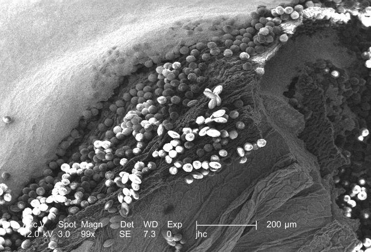 serbuk sari, proses, meiosis untuk membentuk, melibatkan, sel, Divisi