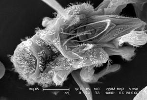 kehadiran, nomor, mitesnanorchestes, Keluarga, nanorchestidae