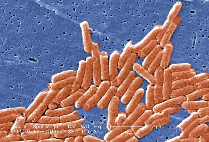 gram, negative, bacilli, salmonella, bacteria