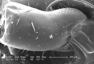 spike, shaped, structures, setae, sensorial, hairs, exoskeletal, surface