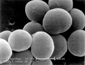 élevé, grossissement, 50000x, micrographie, staphylococcus aureus, bactéries,