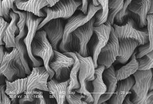 Ultrastrukturna, detalja, površinskih, grimizna, djeteline, trifolium incarnatum, cvijet