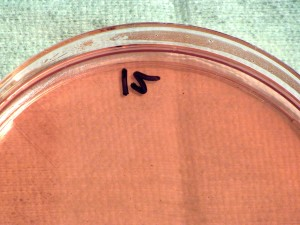 grammo, negativo, Francisella, tularensis, batteri, cresciuto, MacConkey, agar