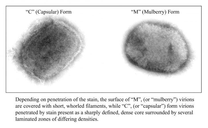 deux, formes, brique, en forme, monkeypox, virus, cellules, culture