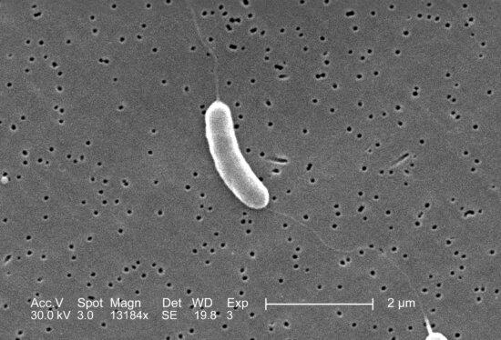 flagellated, vibrio vulnificus, bacterium