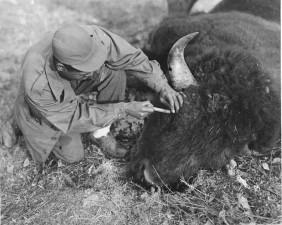 prendre, spécimen, mort, bison