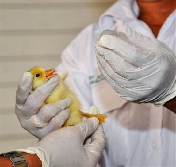 animal, saúde, trabalhadores, Vietnam, imunizar, chick, pássaro, gripe, verifique