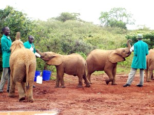 baby, elephants, fed, handlers, sanctuary, orphan, elephants