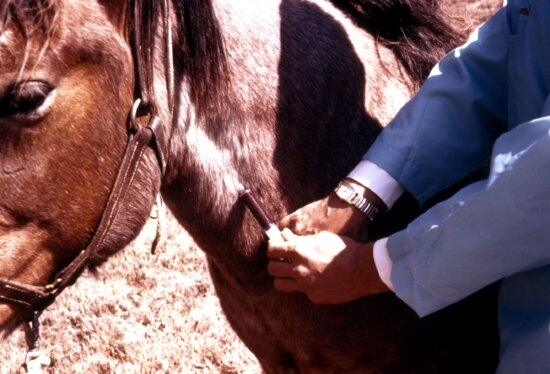 clínico, sangramento, cavalos, jugular, veia, teste, arboviral, doença