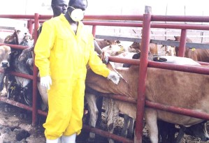 doctor, vaccinating, cattle, combinant, rinderpest, vaccine, cattle, disease