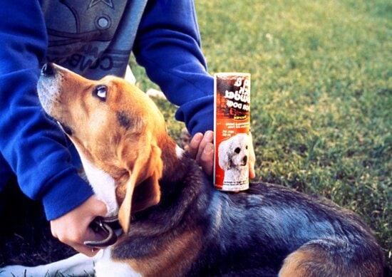 animal de estimação, beagle, tratados, pulga, carrapato, pó