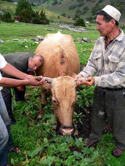 veterinario, controllo, mucca, fiducioso, più sani, mucche