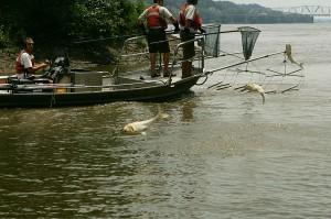 Asian, carp, fishes, jump, water, flee, electrofishing