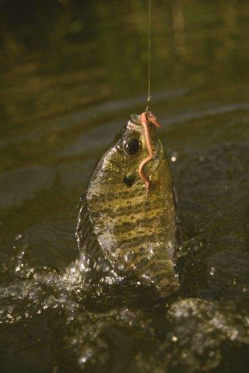 crapet arlequin, poissons, capturés, crochet, lombric, lepomis macrochirus