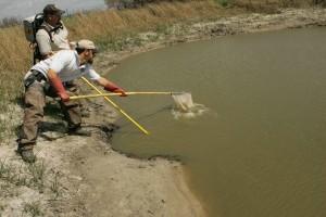catching, fish, electrofishing, practice