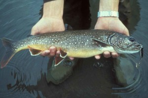 pêcheur, lac, truite, salvelinus, manaycush