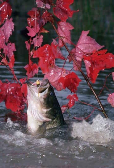 largemouth, bass, caught, fly, rod, popping, bug