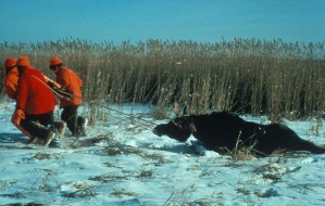 moose, hunting, group, drags, moose