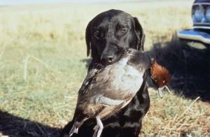 pokazivač, lov, pas, držanje, patka, mouth, uspješan, lov
