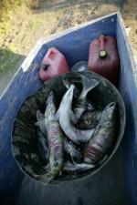 sussistenza, fermo, cane, salmone